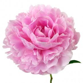 Rožinis gėlės žiedas